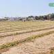 plantacion-de-cebolla-01