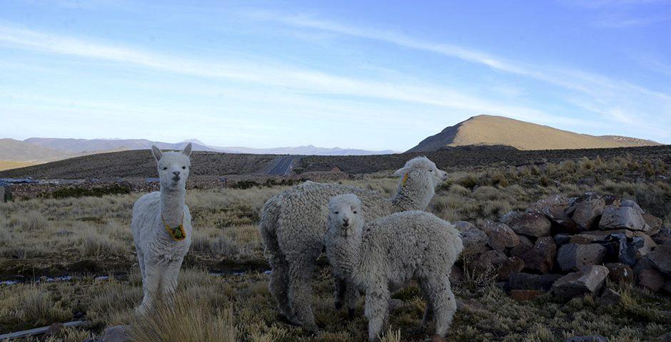 articulo-produccion-de-fibra-de-alpaca-ejemplo-de-sostenibilidad