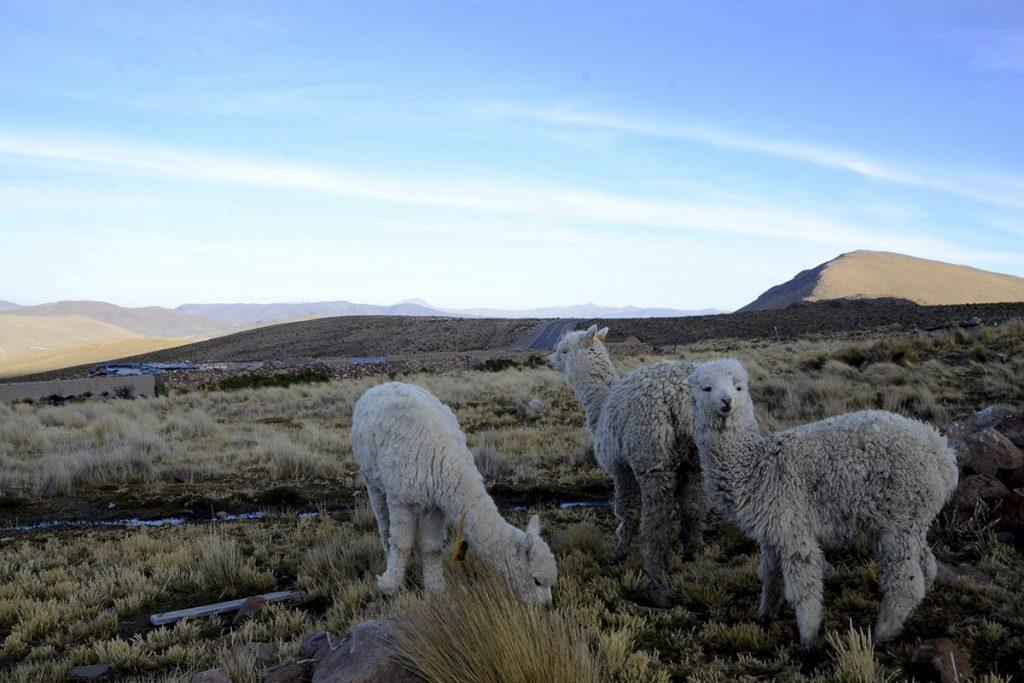 articulo_-produccion-de-fibra-de-alpaca-ejemplo-de-sostenibilidad_0002_dsc_4979